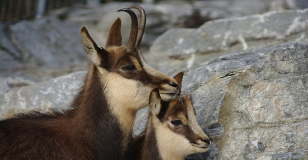 Desde el ibex, la nieve ratón de campo: para que los animales son resistentes al cambio climático