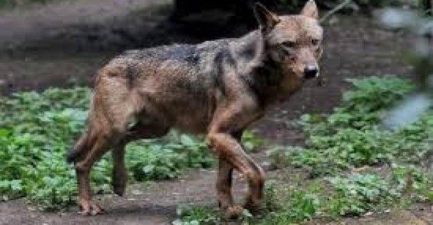 El ministerio del interior a los prefectos: No es la alarma de los lobos, sí a la matanza