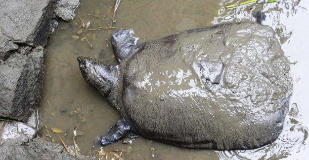 En Nicaragua, las tortugas no se anidan. De China a las Maldivas, más especies en riesgo