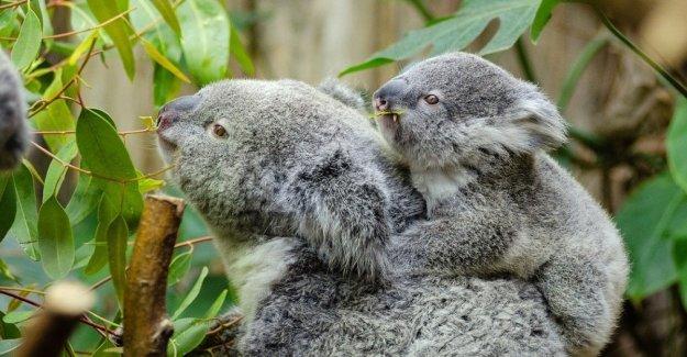 Australia: guardar el koala. No hay más tiempo funcionalmente extinto