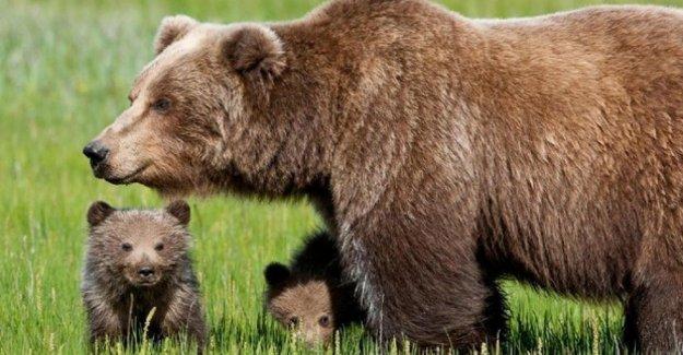 El marsican oso pardo, un signo de recuperación, el 11 de cachorros en el Parque Nacional de los Abruzos