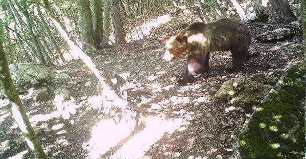 El parque de los Abruzos adoptar el oso M49
