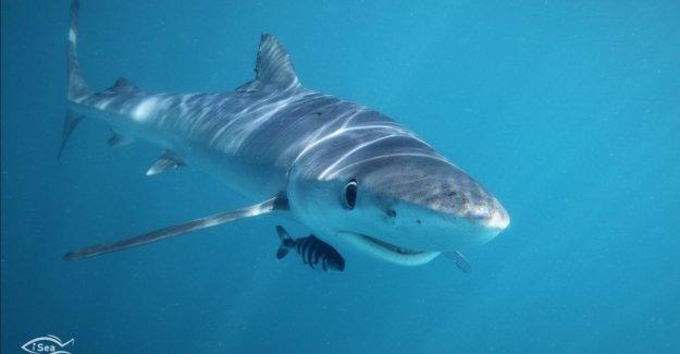 En nuestros mares, de 20 de especies en grave peligro. Los tiburones de hecho, nosotros