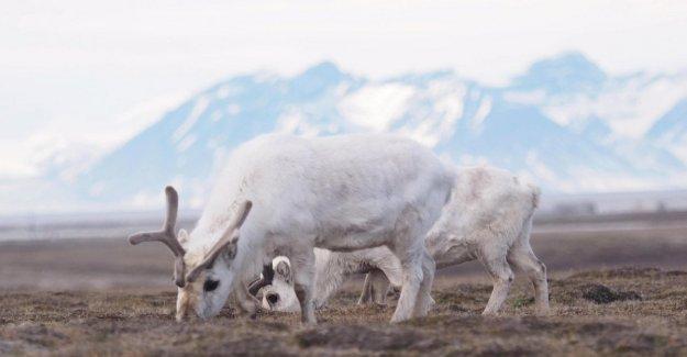 Las islas Svalbard, 200 reno muerto de inanición. La comida es escasa a causa del cambio climático