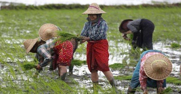 En camboya, las tasas de la UE arroz daños de 500 mil productores: alrededor de la mitad de las exportaciones en Europa