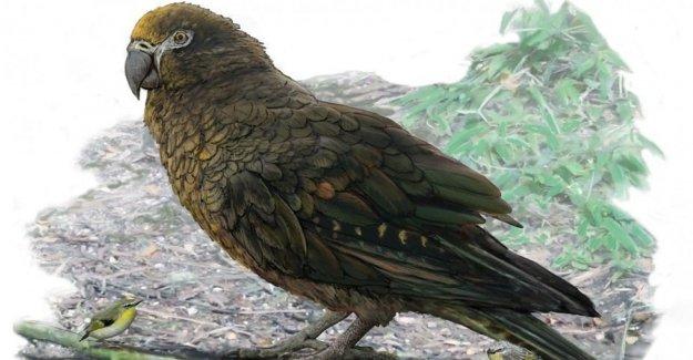 Nueva Zelanda, un loro, un gigante de los 19 millones de años