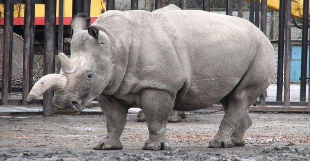 Crear dos embriones, se espera que para salvar al rinoceronte blanco de la extinción