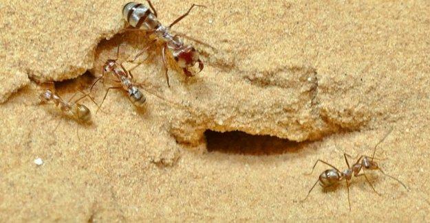 En el Sahara, las hormigas son súper rápido: 10 veces más que el Perno