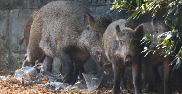 Coldiretti: Emergencia de jabalíes, peligro para los ciudadanos. Los ambientalistas: la caza no es necesario