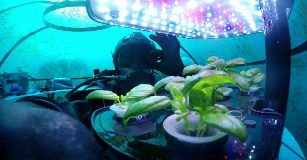 El super albahaca crece en el fondo del mar. La mayoría de los verdes y aromáticas