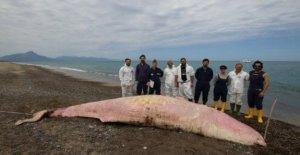 Sicilia, el misterio de las ballenas de esperma muerto. Tres de los animales fueron encontrados en tan sólo cinco días