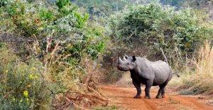 De Europa a Ruanda, 5 rinocerontes de nuevo en libertad
