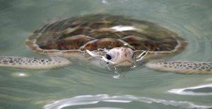 Día mundial de las tortugas marinas...