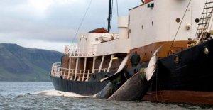 Noruega es el país que cazan más ballenas en el mundo