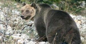 M49 capturado y encerrado en una valla, pero el oso en el trentino se las arregla para escapar
