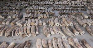 Singapur, la incautación de registros de marfil: recuperado el 9 de toneladas de material precioso