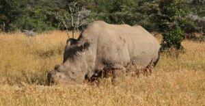 La inseminación Artificial para salvar a los rinocerontes blancos