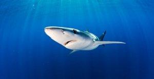 Los tiburones y las rayas en riesgo de extinción, bajo la amenaza de la pesca y de la bolsa de plástico
