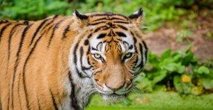Los tigres, en veinte años, más de 2.300 muertos o convertirse en un trofeo