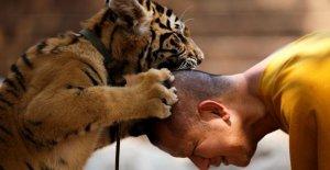 Tailandia tigres salvado por el templo budista. La mitad de ella está muerta