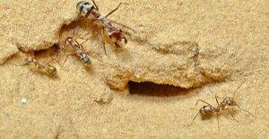 En el Sahara, las hormigas son súper rápido:...