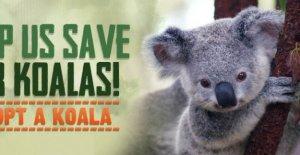 Australia se está quemando, y el koala morir en masa: recogida de 1 millón de dólares para salvar a ellos