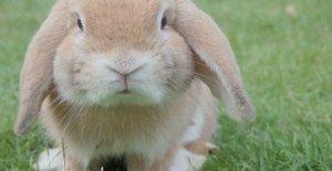 El conejo es un animal de compañía, cerrado, 60 de las granjas de 100