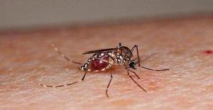 Los mosquitos estériles contra el aumento de las enfermedades tropicales