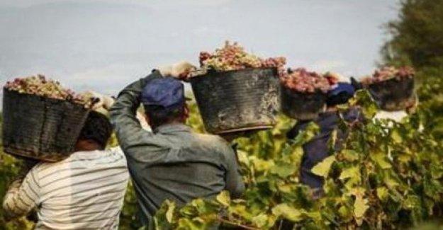 Caporalato y los precios al consumidor: para Aprobar la ley en contra de las subastas en los alimentos, antes de la temporada de la cosecha