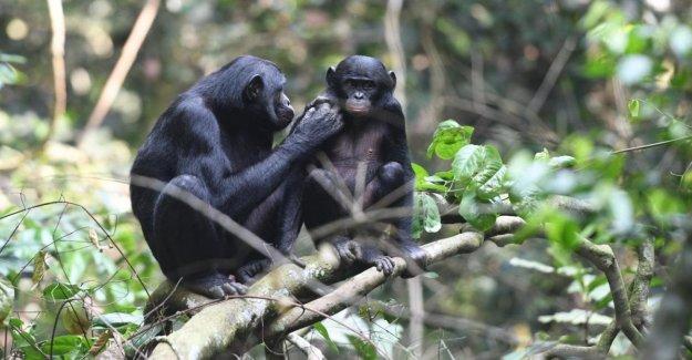 Cuando me tome un nieto?. Así, las hembras de los bonobos incitar a los niños a formar una familia