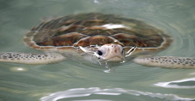 Día mundial de las tortugas marinas todavía en peligro de extinción, pero que mueren menos