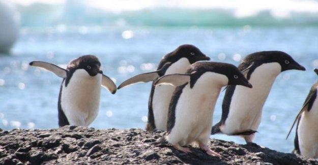 La antártida, los cambios en el ecosistema amenazan el sistema inmunológico de los pingüinos