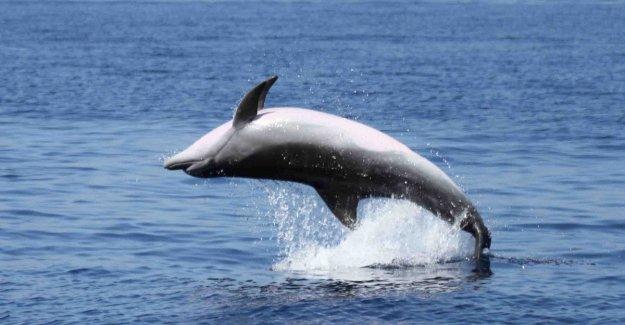 La masacre de los delfines: otra ballena encontrado muerto en las aguas profundas de Porto Azzurro, en la isla de Elba
