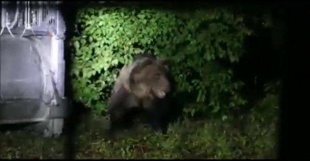M49, el oso está todavía en la carrera. Si se detecta que no puede ponerse de nuevo en esa jaula
