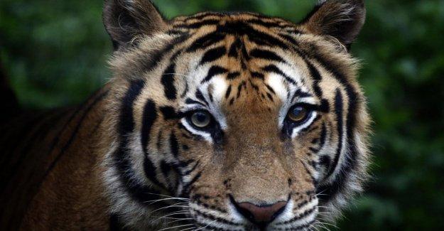 Sólo hay 3.890 tigres en el Planeta, el desafío para salvar la especie