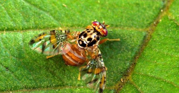 Identificado el gen que desarmar el moscú de los huertos