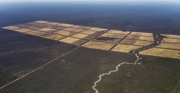 La alarma de Greenpeace: el Gran Chaco, el bosque tropical es ser sacrificado para la carne.