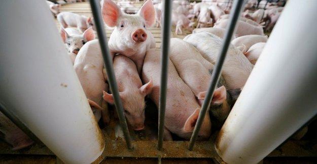 La fiebre porcina, en un año, 5 millones de cerdos muertos en Asia