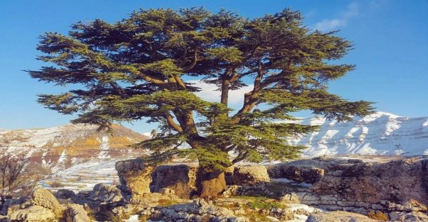 La migración deseada por Francia: los cedros del Líbano contra la sequía