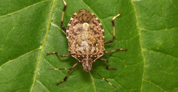 La agricultura, en contra de la invasión de los chinches de asia viene la vespa samurai