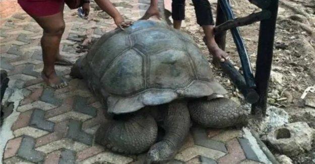 Está muerto Alagba, la tortuga de 344 años sagrado y  curación