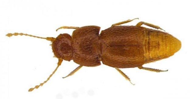 Un escarabajo de el nombre de Greta: un homenaje a Thunberg