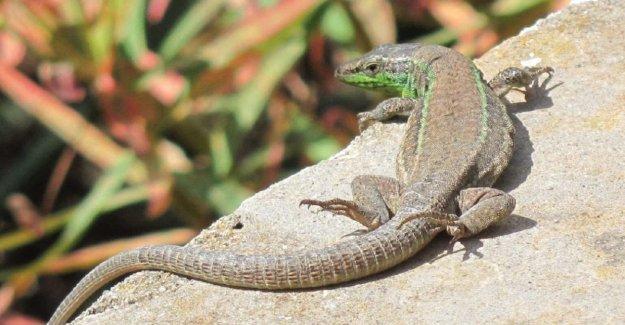 En las islas Pontinas, una nueva especie de lagarto