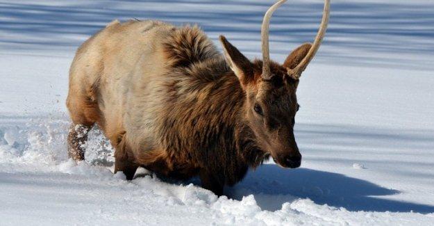 Mongolia, el reno en crisis, sin hielo eterno