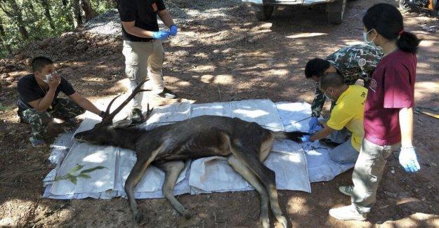 Tailandia, el ciervo encontrado muerto en un parque: siete kilos de plástico en el estómago
