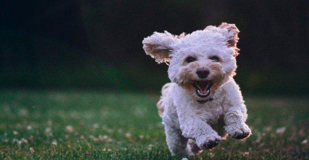 Uno tiene siete? En realidad, no: aquí está la fórmula para calcular la edad humana de perro