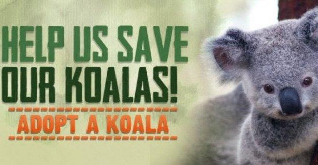 Australia, el 30% de los koalas murió en el incendio