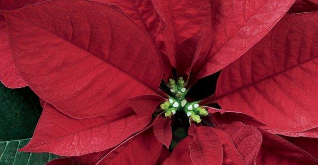 La lucha contra el cáncer, volver en el italiano de los cuadrados de las Estrellas de la Navidad Ail