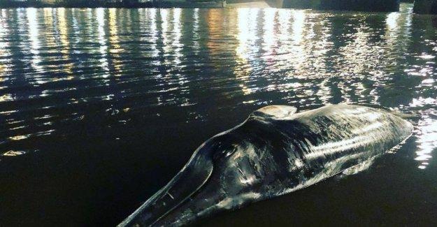 Londres, ballena varada encontrar en las orillas del río Támesis