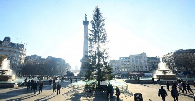 Londres, como Roma: el árbol de Navidad en Trafalgar Square es sarnosos